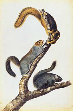 Fig. 1: John James Audubon (French-American, 1785–1851) Cat Squirrel, preparatory study for plate 17 of The Viviparous Quadrupeds of North America (1845–48). Watercolor and pencil, 36-3/4 x 24-1/4 inches. Signed and dated, New York Decr 9th 1841/ J. J. A. Purchased by Pierpont Morgan with the Irwin collection, 1900.